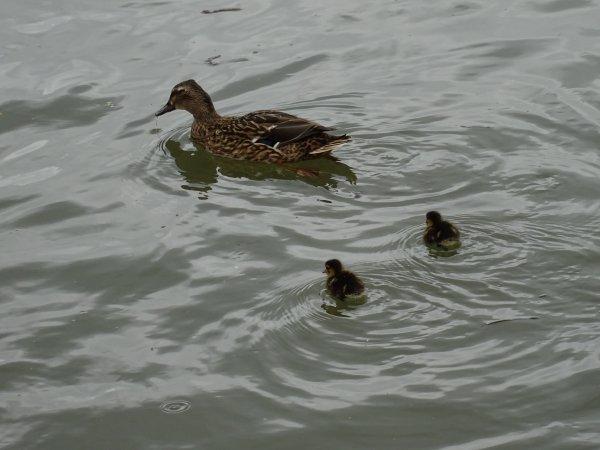 De nouveaux nées chez les canards (2/28)