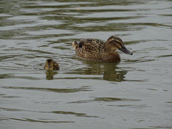 De nouveaux nées chez les canards (5/28)