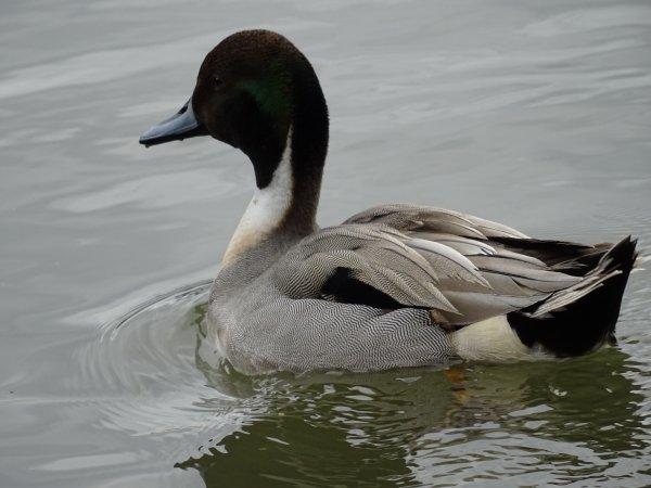 Un beau canard