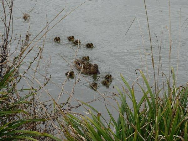 De nouveaux nées chez les canards (10/28)
