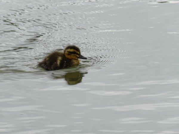 De nouveaux nées chez les canards (11/28)