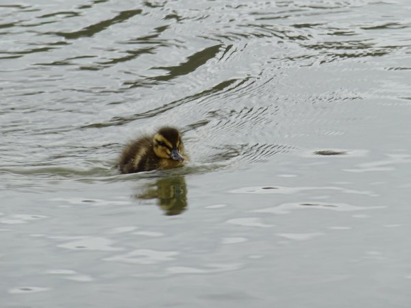 De nouveaux nées chez les canards (12/28)