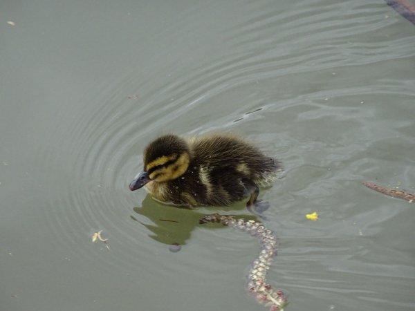 De nouveaux nées chez les canards (13/28)