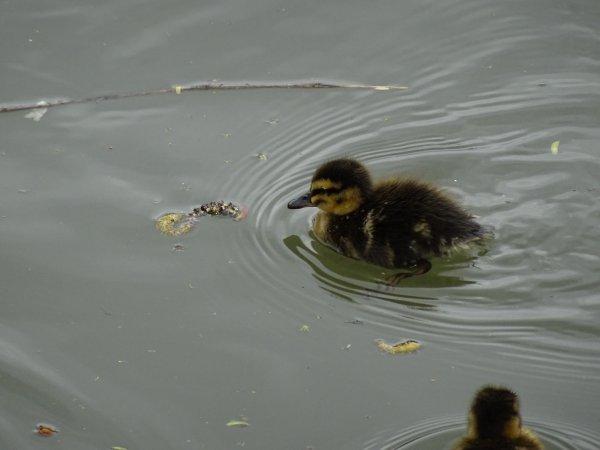 De nouveaux nées chez les canards (14/28)