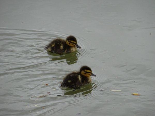 De nouveaux nées chez les canards (16/28)