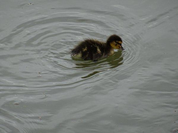 De nouveaux nées chez les canards (17/28)