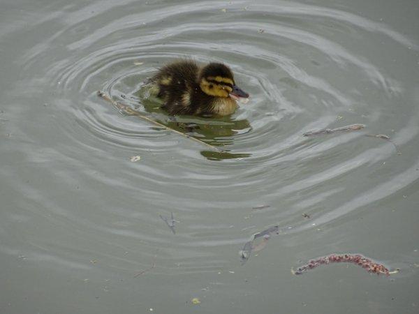 De nouveaux nées chez les canards (18/28)