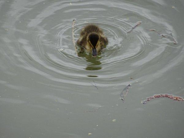 De nouveaux nées chez les canards (19/28)