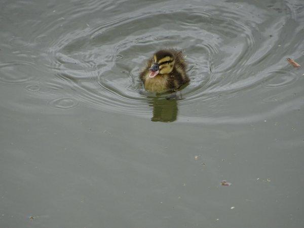 De nouveaux nées chez les canards (21/28)