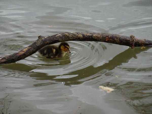 De nouveaux nées chez les canards (24/28)