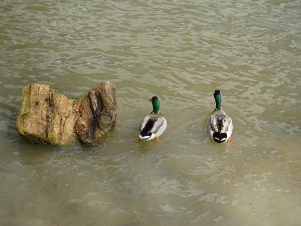 Deux canards cote à cote (1/2)