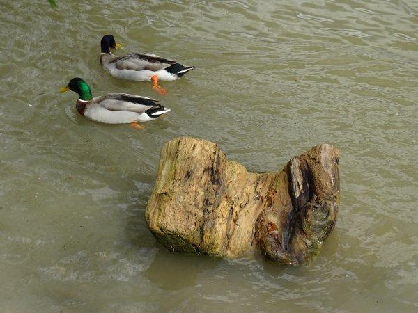 Deux canards cote à cote (2/2)