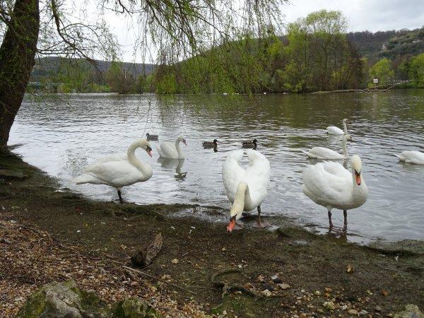 Des cygnes au bord de Seine (2/2)
