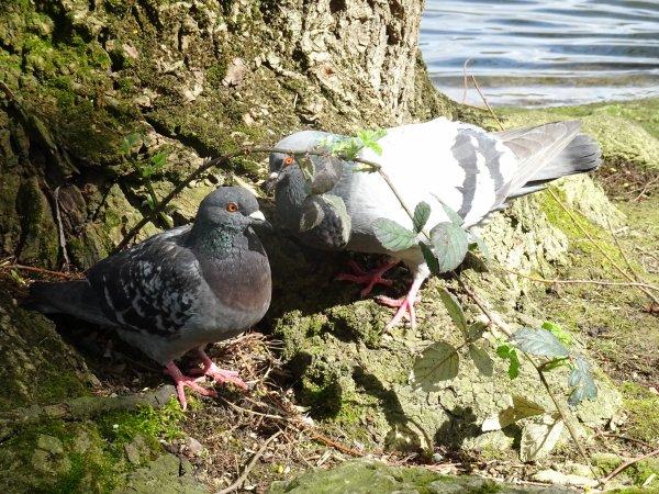De beaux pigeons (2/7)