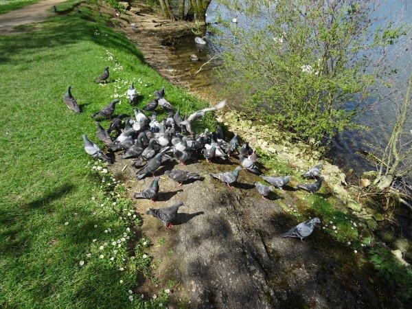 De beaux pigeons (6/7)
