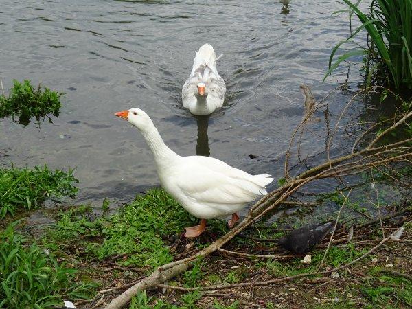 Des oies aux bord de Seine (2/3)