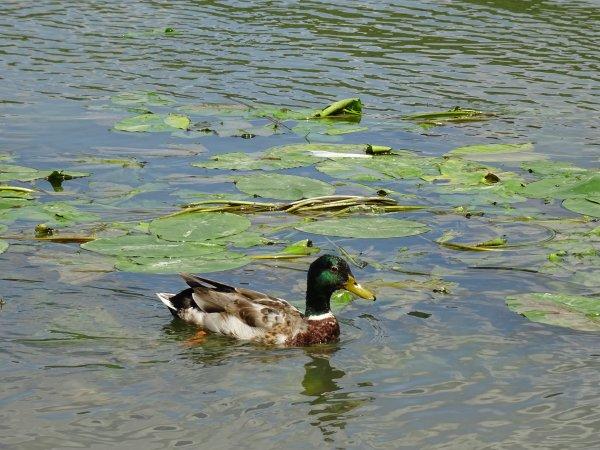 Des algues avec un canard (2/3)