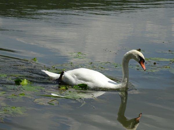 Un cygne dans les algues (2/2)