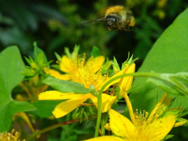 Un abeille près a butiné