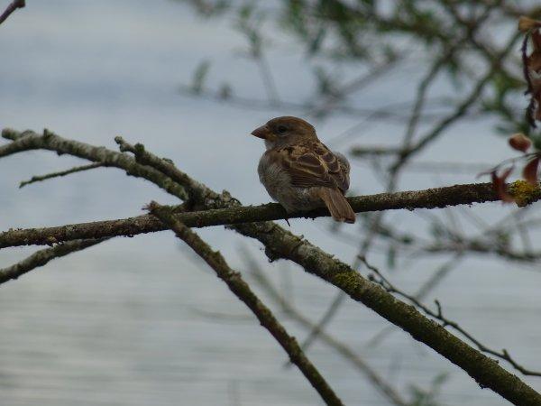 Un petit moineau sur une branche