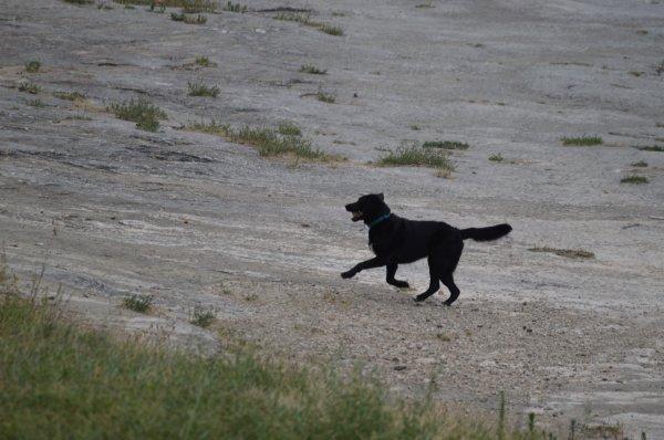 Un chien qui court