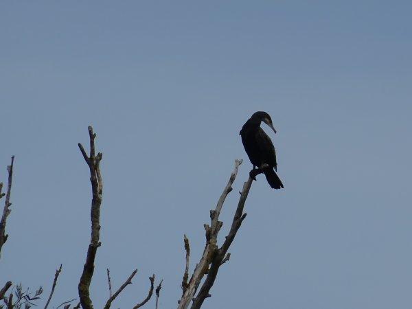 Un cormoran au sommet de son arbre