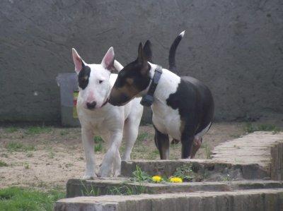 Cheyenne la maman (tricolore) avec bonny sa fille (blanche cocardé)