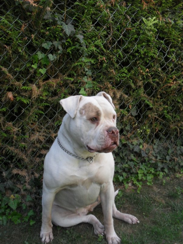 saillie bouledogue américain de type bully