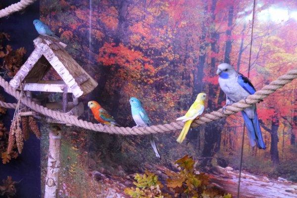 expositions d'oiseau à st Nicolas D' Aliermont