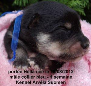 La portée Hellä qui signifie douce en fnnois est née le 19/08/12 -  les bébés à une semaine - les chiots seront disponibles le 20/10/2012