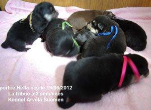 La portée Hellä qui signifie douce en fnnois est née le 19/08/12 - les bébés à deux semaines - les chiots seront disponibles le 20/10/2012
