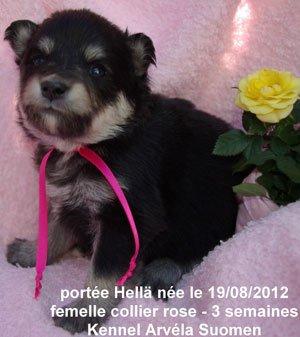 La portée Hellä qui signifie douce en fnnois est née le 19/08/12 - les bébés à trois semaines - les chiots seront disponibles le 20/10/2012