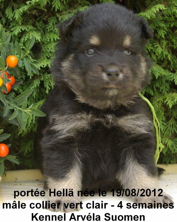 La portée Hellä qui signifie douce en fnnois est née le 19/08/12 - les bébés à quatre semaines - les chiots seront disponibles le 20/10/2012
