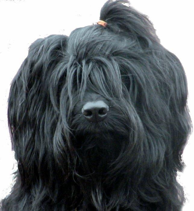 Ma Briarde, mon amour de chienne
