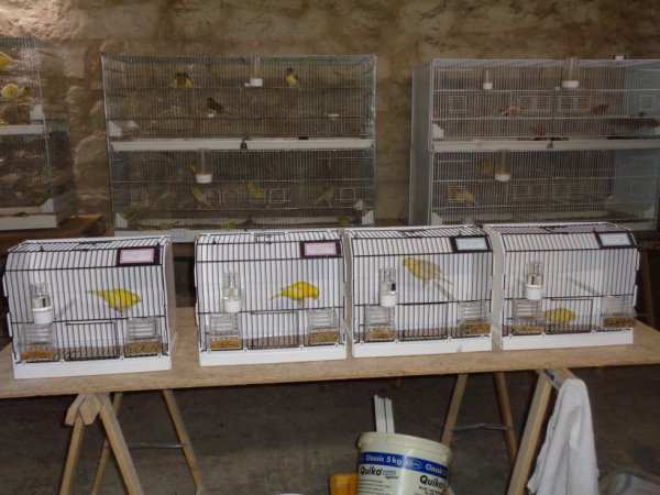 Voici deux jaune lipo intensif et deux satiné jaune intensif dans leur cage d'entraînement.