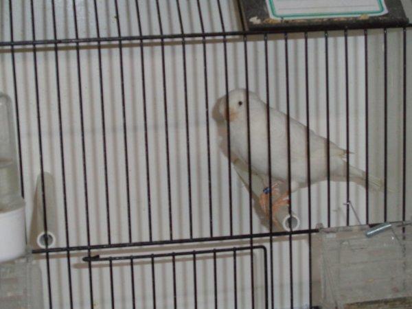 le blanc récessif, un de mes meilleurs oiseaux de l'année 2017 ! A suivre quand il aura fini sa mue et bien toiletté, il ira loin on parie ?