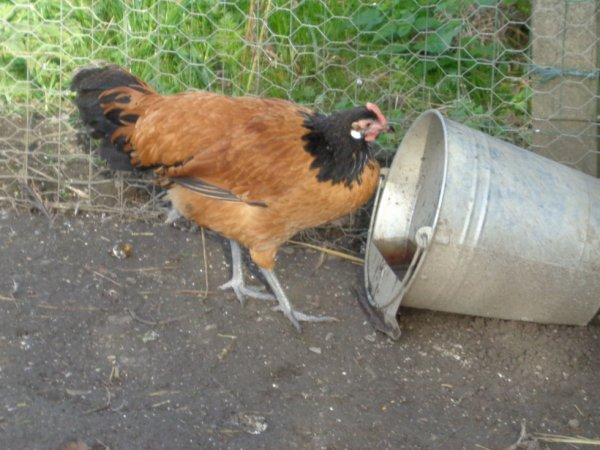 une poulette Vorwerk
