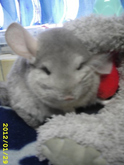 Chinchilla Paradis