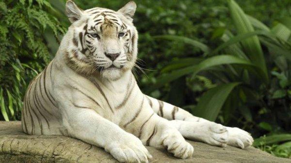 beau tigre :D