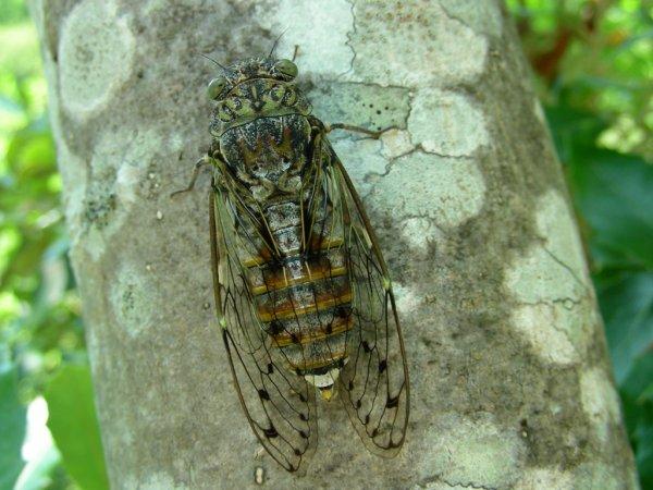 Cicada solaris