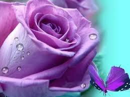 la beauté d'une rose
