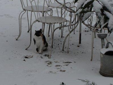 Giroflée à la neige