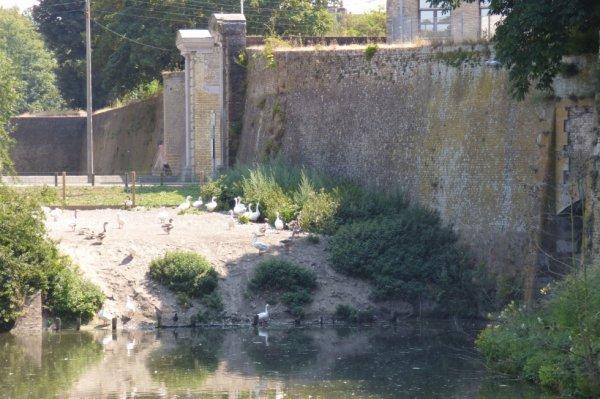 Cygnes, Canards, et Oies en bordure du Canal de Bergues