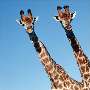 Girafe101