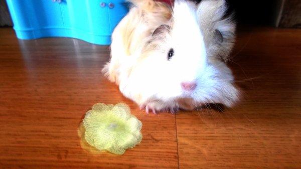 Mon cochon d'inde Candy(MiniM-J-2)