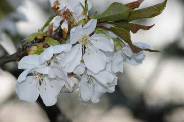 Avril 2014 - Fleurs cerisier