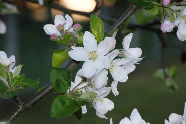 Avril 2014 - Fleurs pommier