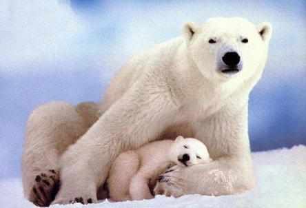 l'ours polaire tué par les eaux ;