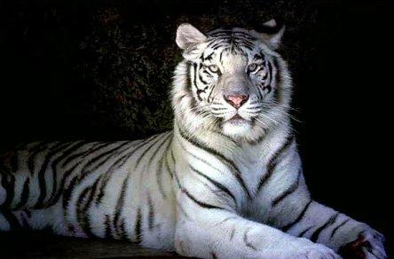 le tigre blanc, chassé pour ca fourrure ;