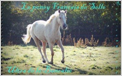 → Le Poney Français de Selle (PFS)